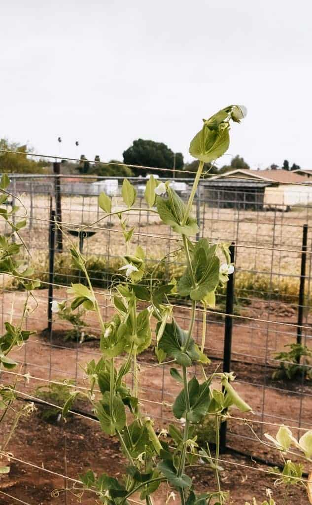 Sugar snap peas growing on trellis.