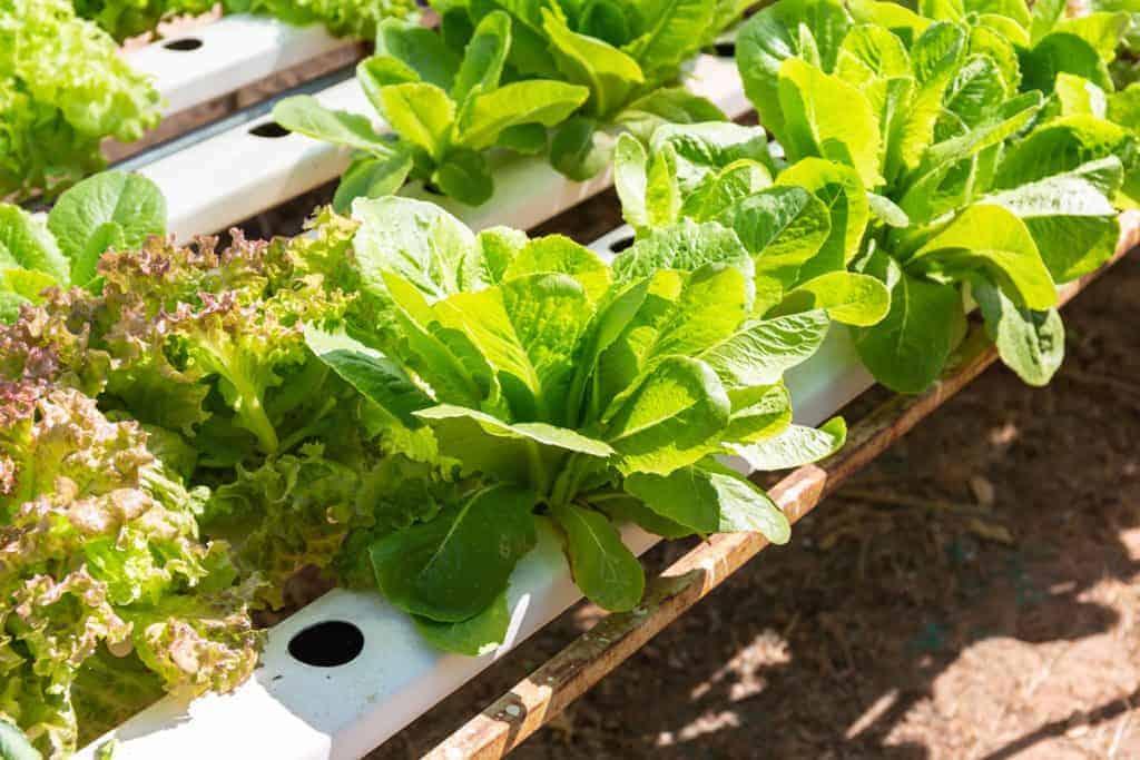 Garden bed full of leafy greens.
