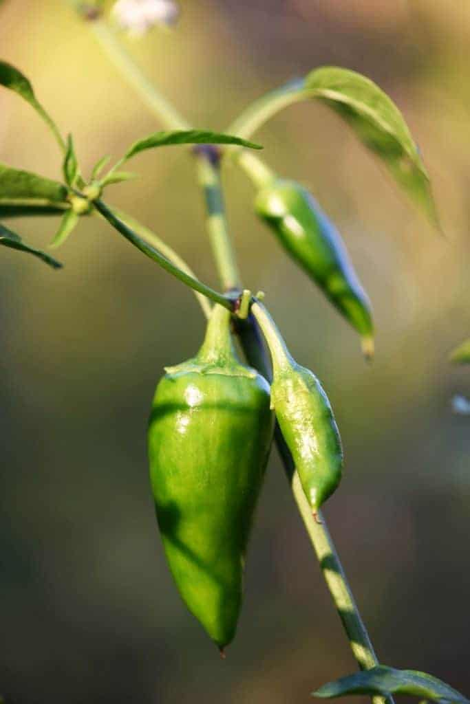 Hot pepper growing on plant in the garden.